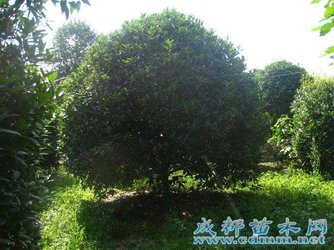 桂花-桂花树,成都苗木网